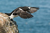 Razorbill taking off, Skomer Island, Wales, UK