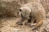 Captive mother meerkat caring for young