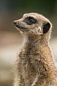Captive meerkat watching for predator