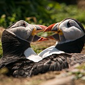 Puffins fighting on Skomer Island, Pembrokeshire, UK