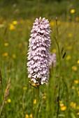 Common spotted orchid (Dactylorhiza fuchsii), Wales, UK