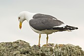 Lesser black-backed gull, Skomer Island, Pembrokeshire, UK