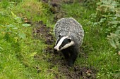 Badger, Dinefwr Park, Wales, UK