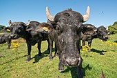 Asian water buffalo at Cilgerran nature reserve, Wales, UK