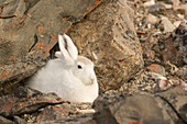 Arctic hares, Bloomster-bugten, Greenland