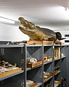 Preserved crocodile