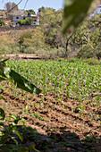 Corn field, Mexico