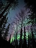 Trees and aurora in Alaska