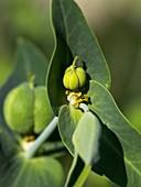Caper spurge (Euphorbia lathyris) seed pods