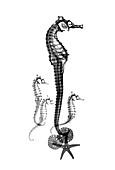 Seahorses, X-ray