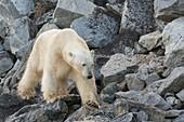 Polar bear foraging, Hamiltonbrukt, Svalbard