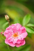 Rose (Rosa 'Gartendirektor Otto Linne')