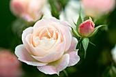 Rose (Rosa 'Marie Pavie')