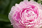 Peony (Paeonia lactiflora 'Sarah Bernhardt')