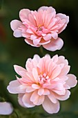 Rose (Rosa 'Cecile Brunner')