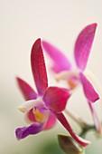 Orchid (Phalaenopsis tetraspis C1 x Crimson Cherub)