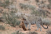 Leopard with Steenbok prey