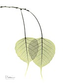 Sacred fig (Ficus religiosa) leaves, X-ray