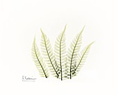 Fern fronds, X-ray