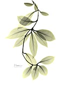 Wax plant (Hoya carnosa) leaves, X-ray