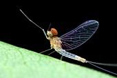 Male mayfly