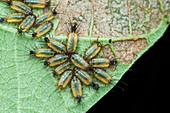 Tortoise beetle larvae feeding