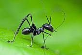 Ant-mimic katydid nymph