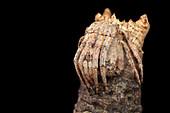 Tree stump orb-weaver spider