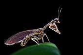 Mantidfly on leaf