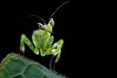 Flower praying mantis nymph