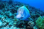 Yellowbar angelfish on a reef