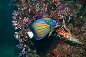 Bluering angelfish on a reef