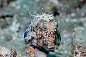 Thornback cowfish on a reef