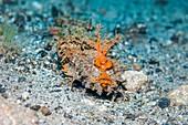 Spiny devilfish