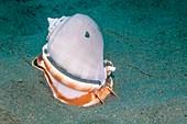 Grey bonnet sea snail