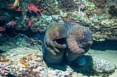 Giant moray eels on a reef