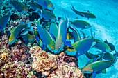 Greenthroat parrotfish grazing on reef