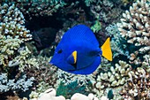 Yellowtail tang on a reef