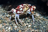 Harlequin swimmer crab