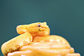 Eyelash viper, juvenile
