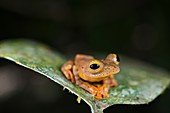 Harlequin tree frog, Borneo