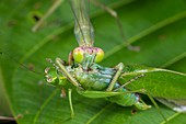 Green mantis feeding on katydid, Borneo