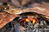Terrestrial crab, Borneo