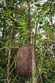 Termite hive on tree