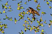 Hawk hunting budgerigars, Australia