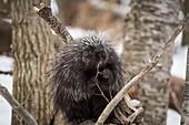 North American porcupine feeding