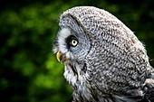 Great grey owl head