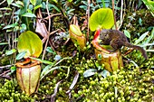 Tree shrew on giant pitcher plant, Borneo