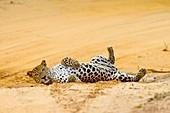 Leopard resting, Sri Lanka
