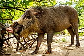 Bearded pig foraging